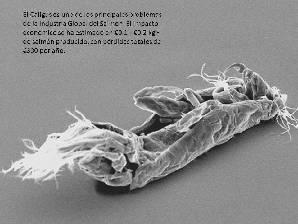 Las etapas infectivas de los caligus (copepoditos) no son capaces de alimentarse hasta que encuentren un huésped, por lo que tienen que fijarse rápidamente antes de morir de hambre.