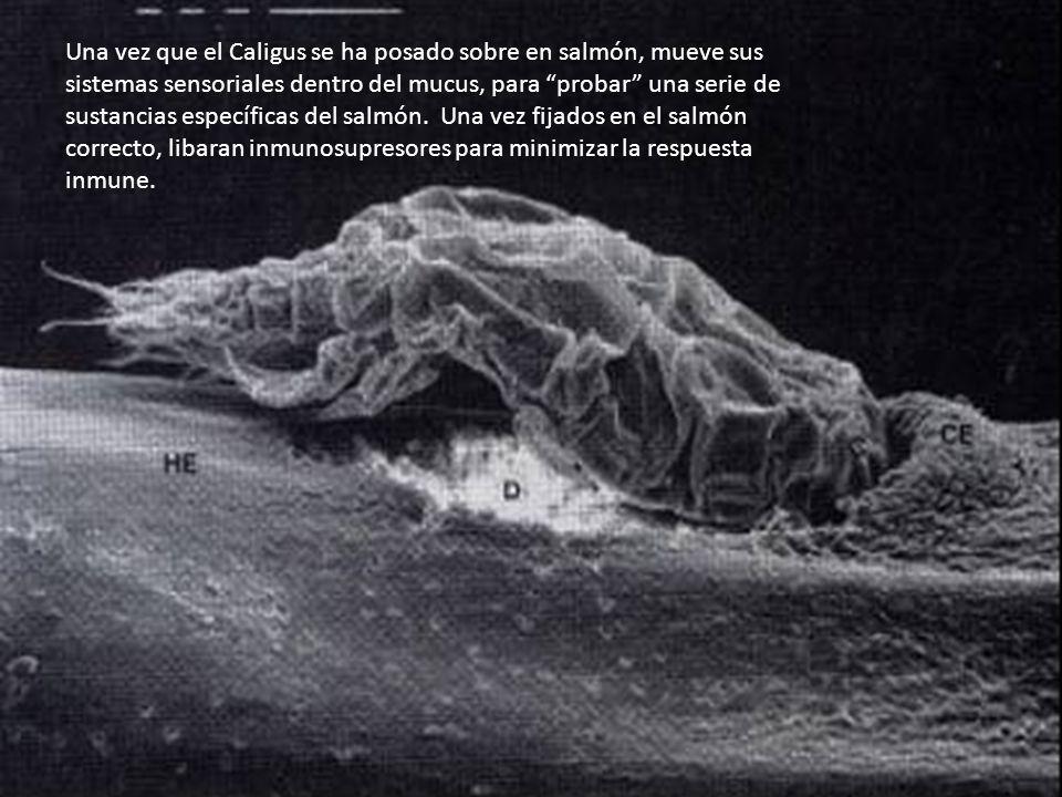 Una vez que el Caligus se ha posado sobre en salmón, mueve sus sistemas sensoriales dentro del mucus, para probar una serie de sustancias específicas