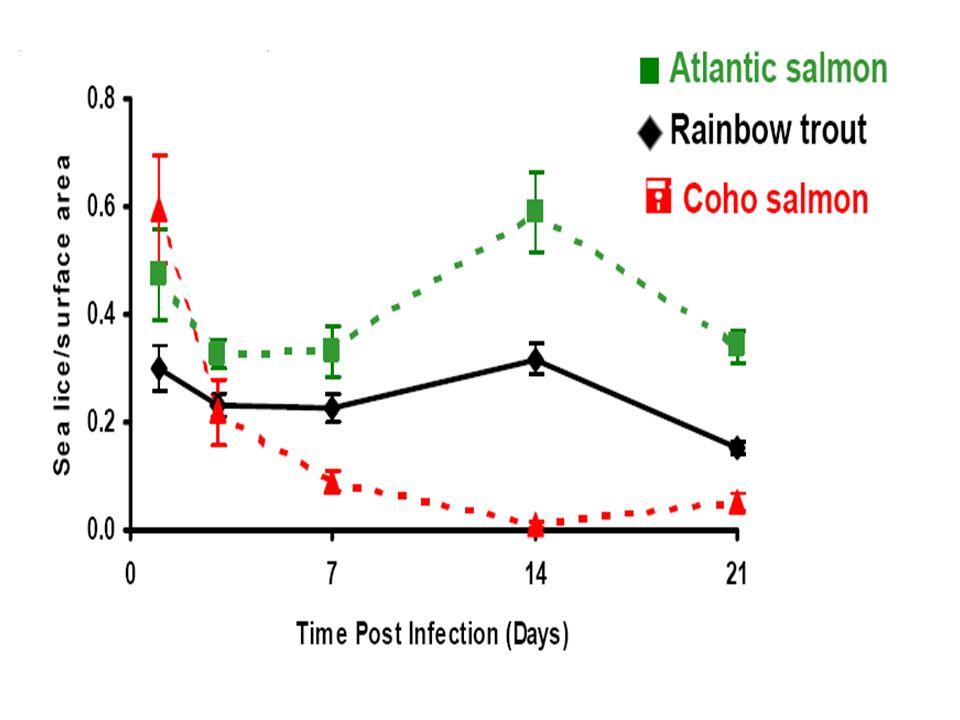 Si los caligus se confunden durante la fijación al huésped, no liberan la dosis completa de compuestos inmunosupresores.