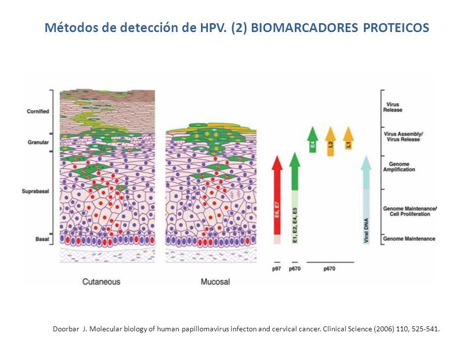Métodos de detección de HPV. (2) BIOMARCADORES PROTEICOS Doorbar J. Molecular biology of human papillomavirus infecton and cervical cancer. Clinical S