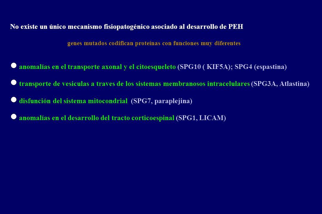 No existe un único mecanismo fisiopatogénico asociado al desarrollo de PEH genes mutados codifican proteínas con funciones muy diferentes anomalías en el transporte axonal y el citoesqueleto (SPG10 ( KIF5A); SPG4 (espastina) transporte de vesiculas a traves de los sistemas membranosos intracelulares (SPG3A, Atlastina) disfunción del sistema mitocondrial (SPG7, paraplejina) anomalías en el desarrollo del tracto corticoespinal (SPG1, LICAM)
