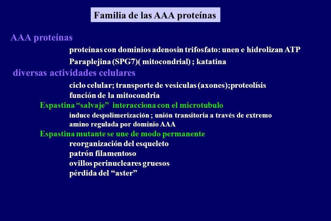 AAA proteínas proteínas con dominios adenosin trifosfato: unen e hidrolizan ATP Paraplejina (SPG7)( mitocondrial) ; katatina diversas actividades celulares ciclo celular; transporte de vesiculas (axones);proteolísis función de la mitocondria Espastina salvaje interacciona con el microtubulo induce despolimerización ; unión transitoria a través de extremo amino regulada por dominio AAA Espastina mutante se une de modo permanente reorganización del esqueleto patrón filamentoso ovillos perinucleares gruesos pérdida del aster Familia de las AAA proteínas