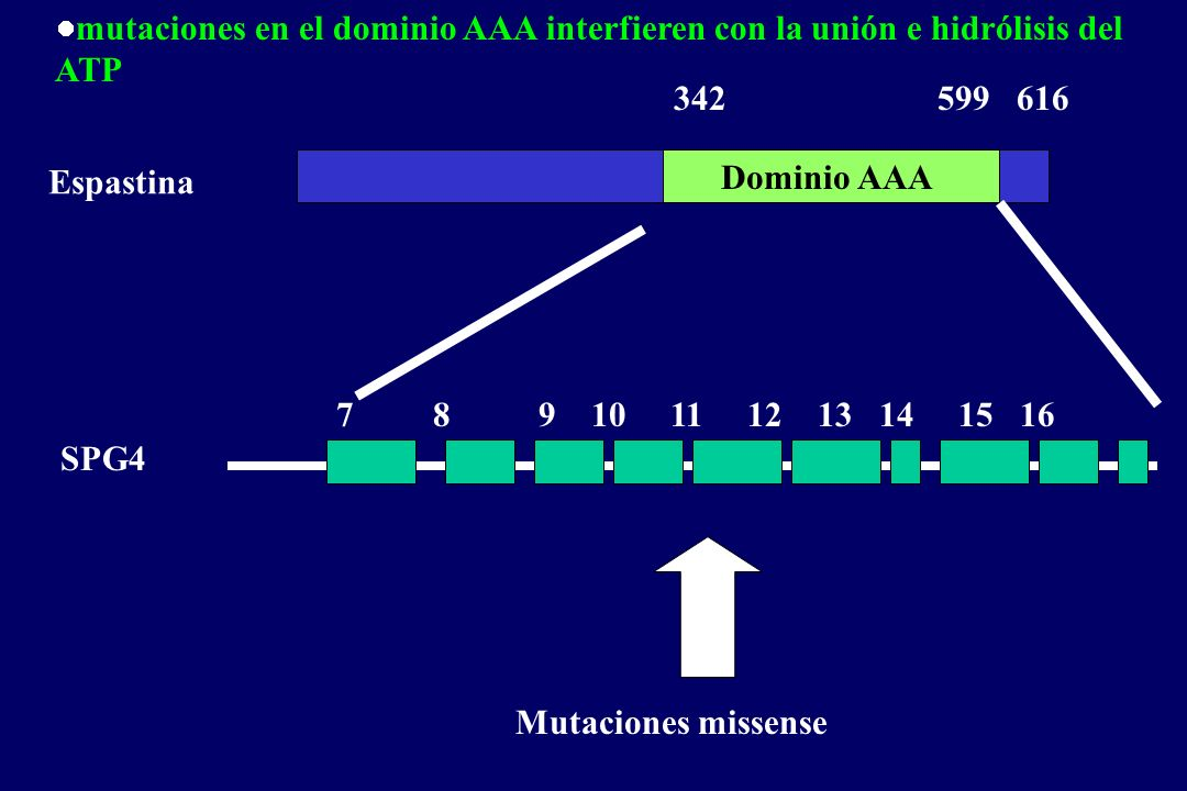 Dominio AAA 342 599 616 Mutaciones missense 789 10 11 12 13 14 15 16 SPG4 Espastina mutaciones en el dominio AAA interfieren con la unión e hidrólisis del ATP