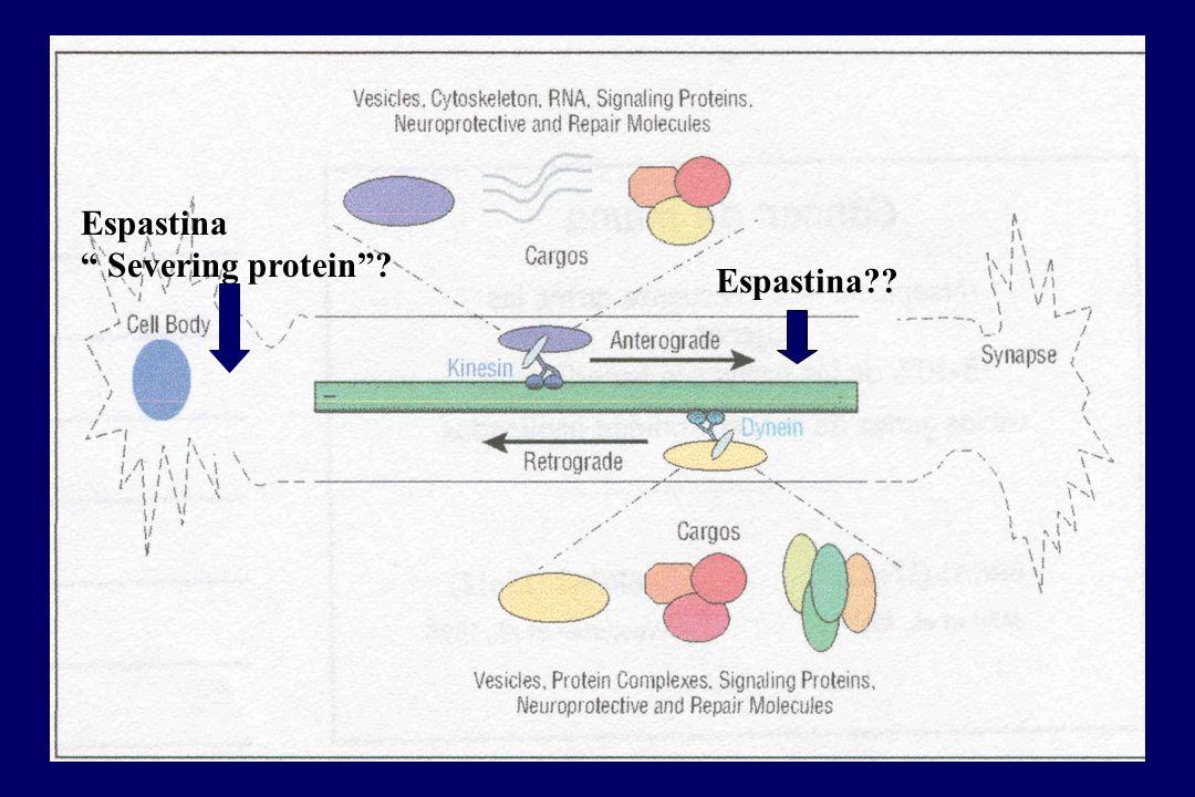 Espastina?? Espastina Severing protein?