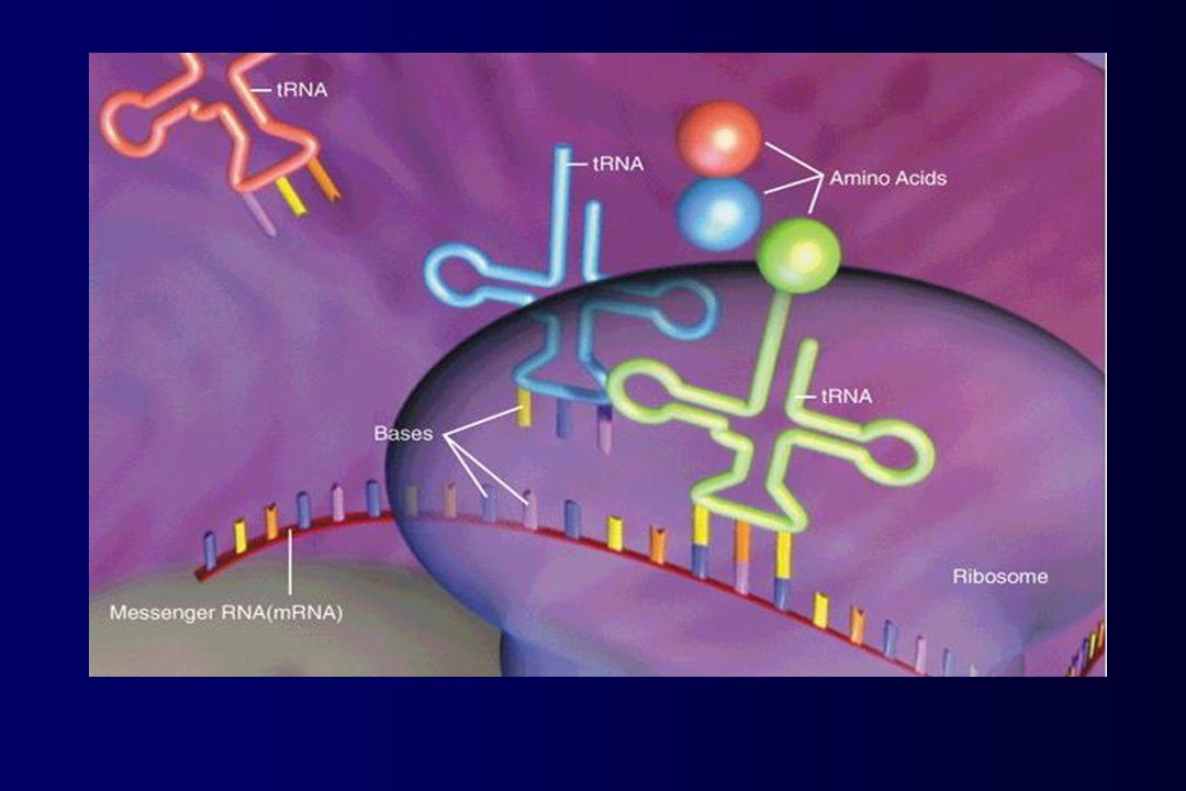 cromosoma DNA RNAm Proteína