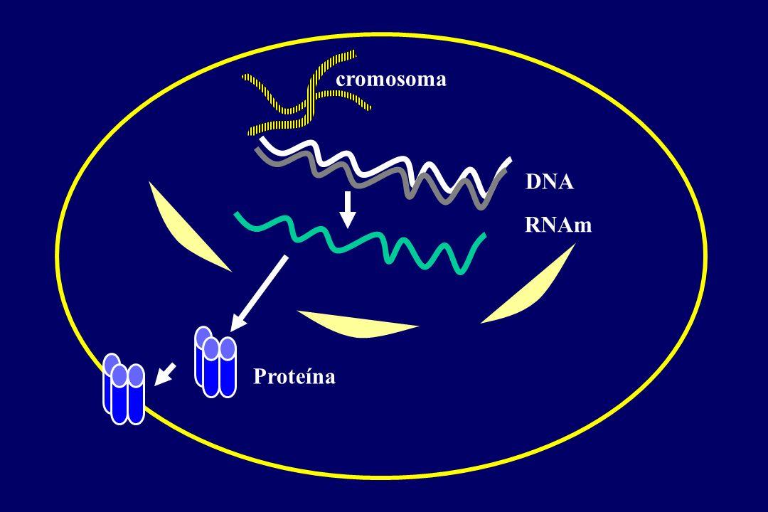 PARAPARESIS ESPÁSTICA HEREDITARIA (PEH) l Grupo de enfermedades heterogéneas clínica y genéticamente l Gran variabilidad en curso clínico, edad de comienzo, progresión mejor pronóstico edades tempranas (< 30 años) l variabilidad entre los diferentes tipos genéticos de PSH l variabilidad entre diferentes familias con mismo tipo genético correlación genotipo-fenotipo l variabilidad entre miembros de la misma familia familias con mutación en SPG4 en las que coexisten individuos con inicio en la infancia e individuos con comienzo > 30 años factores moduladores (genéticos y/o ambientales) mosaicismo somático (SPG4)