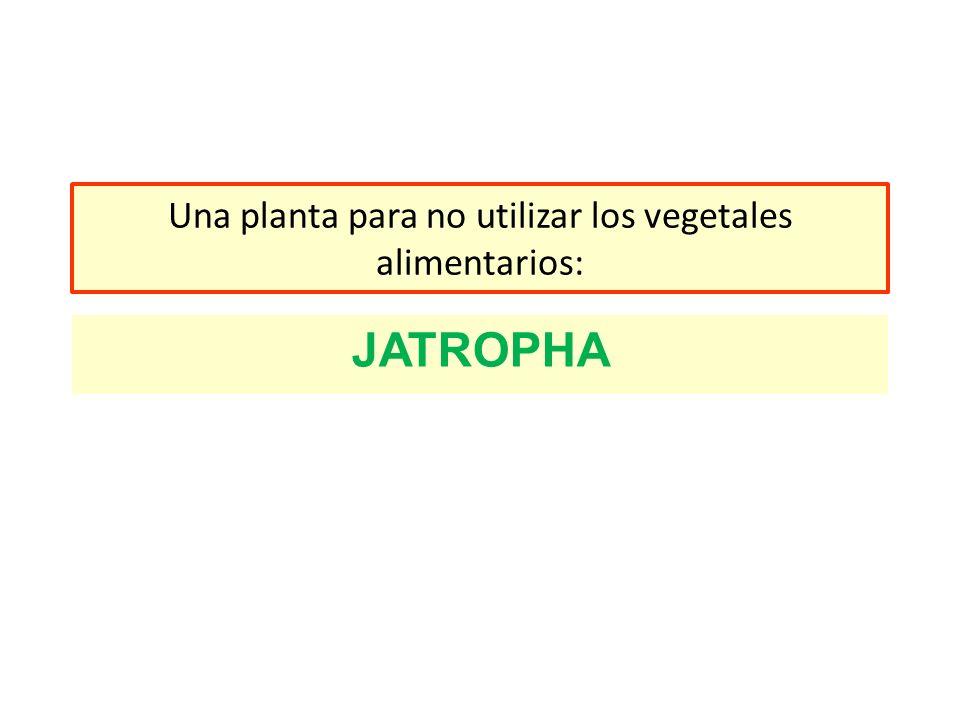 Una planta para no utilizar los vegetales alimentarios: JATROPHA