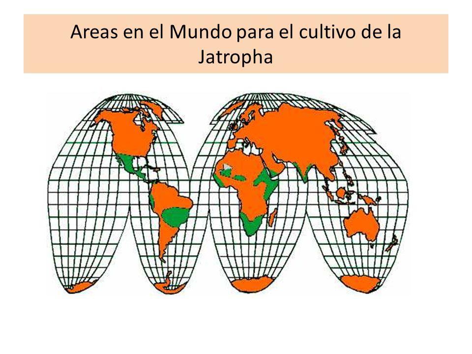 Areas en el Mundo para el cultivo de la Jatropha