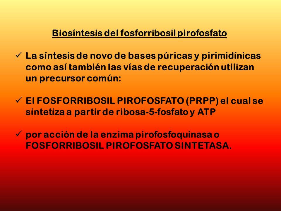 Biosíntesis del fosforribosil pirofosfato La síntesis de novo de bases púricas y pirimidínicas como así también las vías de recuperación utilizan un p