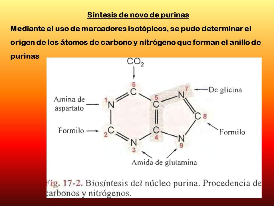 Síntesis de novo de purinas Mediante el uso de marcadores isotópicos, se pudo determinar el origen de los átomos de carbono y nitrógeno que forman el