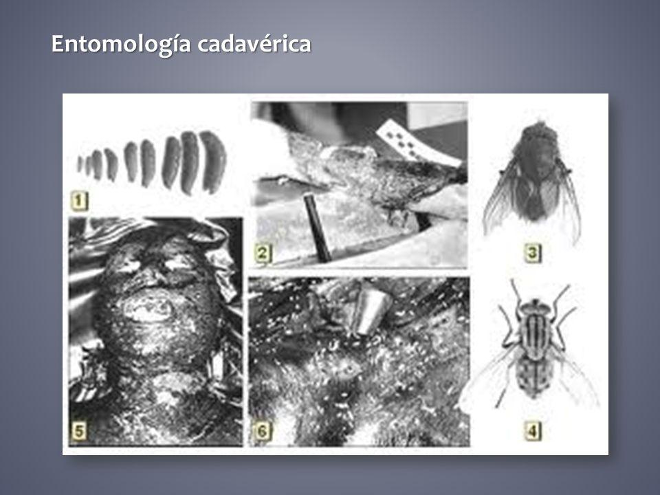 Entomología cadavérica
