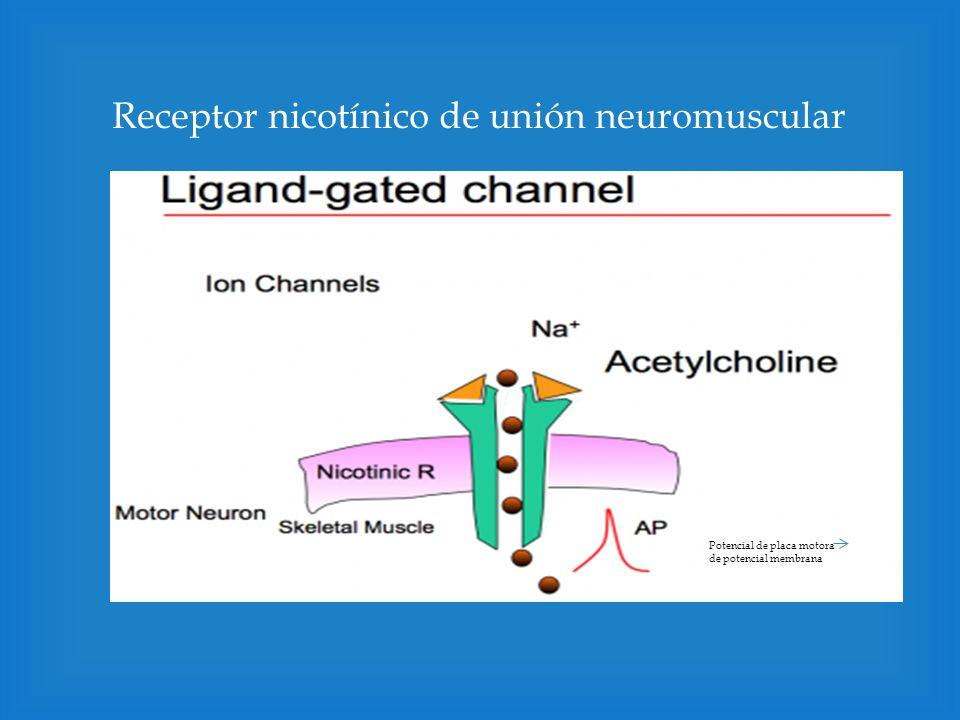 Ach interactúa con receptores nicotínicos en los ganglios o músculo e inicia un Potencial postsináptico excitatorio (EPSP) Mecanismo de acción de Ach en la unión neuromuscular