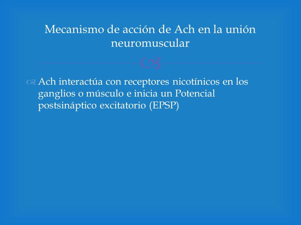 Ach interactúa con receptores nicotínicos en los ganglios o músculo e inicia un Potencial postsináptico excitatorio (EPSP) Mecanismo de acción de Ach