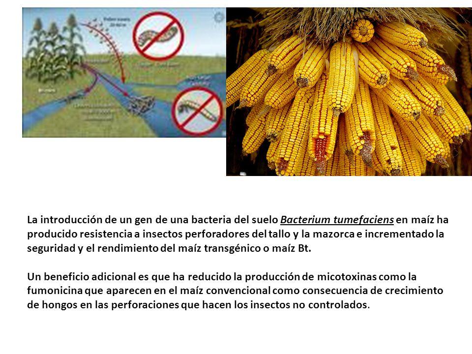 La introducción de un gen de una bacteria del suelo Bacterium tumefaciens en maíz ha producido resistencia a insectos perforadores del tallo y la mazo