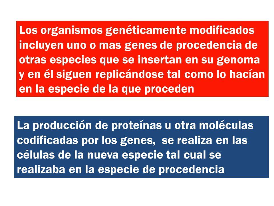Los organismos genéticamente modificados incluyen uno o mas genes de procedencia de otras especies que se insertan en su genoma y en él siguen replicá