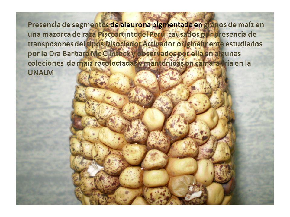 Presencia de segmentos de aleurona pigmentada en granos de maíz en una mazorca de raza Pisccoruntodel Perú causados por presencia de transposones del
