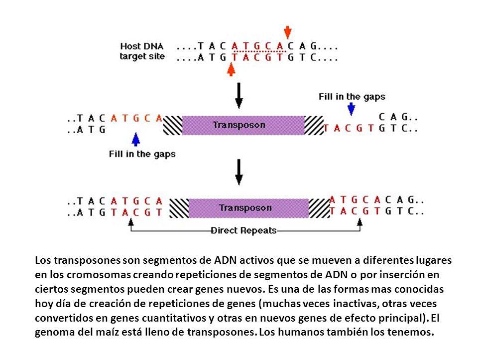 Los transposones son segmentos de ADN activos que se mueven a diferentes lugares en los cromosomas creando repeticiones de segmentos de ADN o por inse