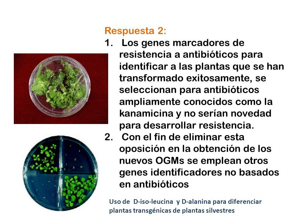 Respuesta 2: 1. Los genes marcadores de resistencia a antibióticos para identificar a las plantas que se han transformado exitosamente, se seleccionan