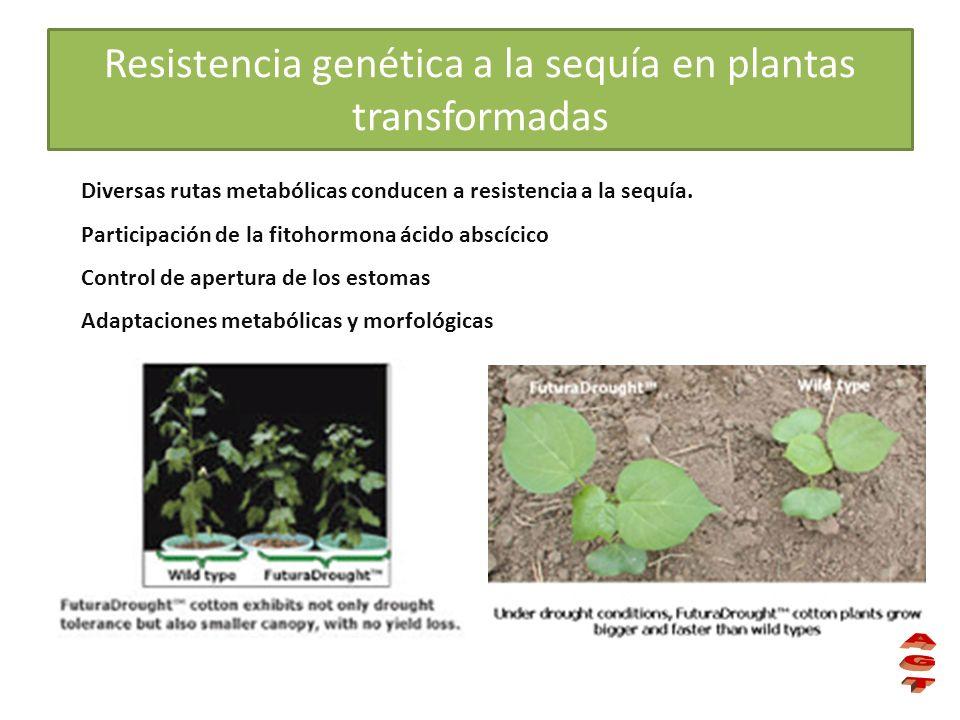 Resistencia genética a la sequía en plantas transformadas Diversas rutas metabólicas conducen a resistencia a la sequía. Participación de la fitohormo