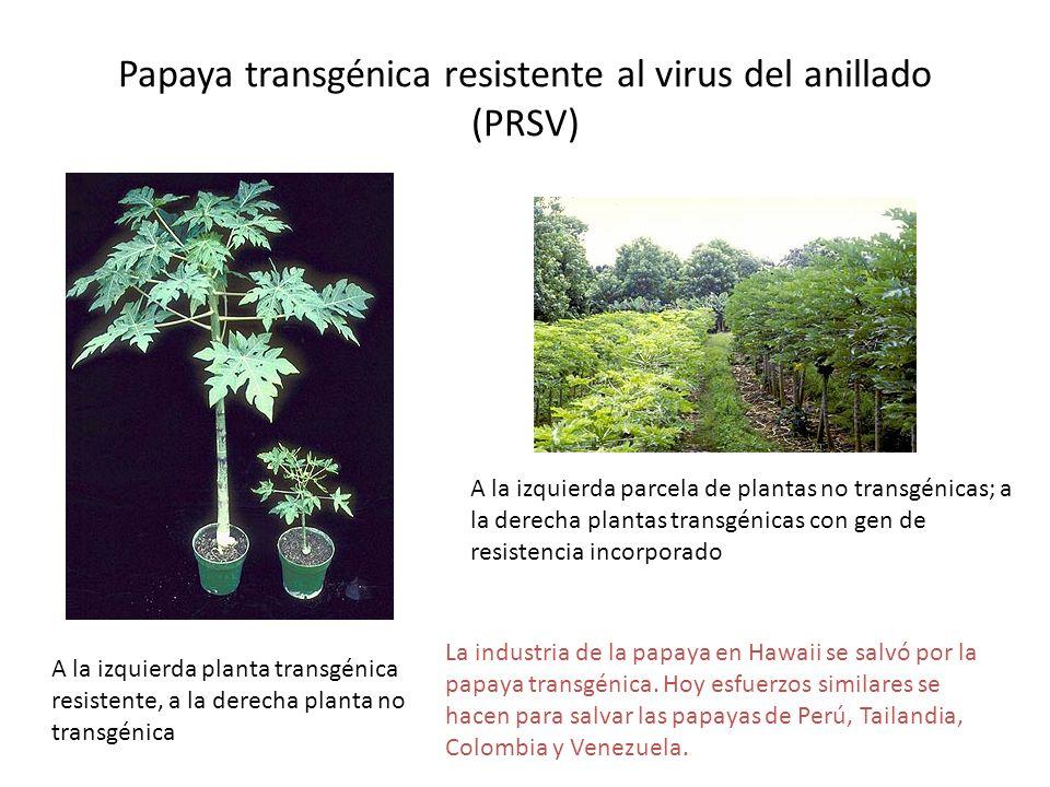 Papaya transgénica resistente al virus del anillado (PRSV) A la izquierda planta transgénica resistente, a la derecha planta no transgénica A la izqui