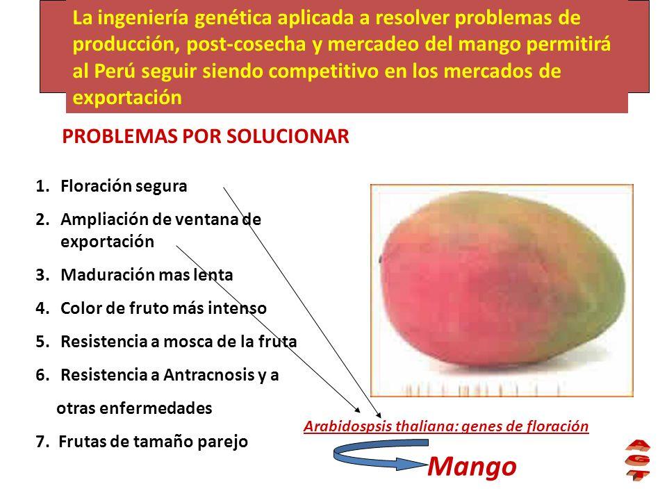 La ingeniería genética aplicada a resolver problemas de producción, post-cosecha y mercadeo del mango permitirá al Perú seguir siendo competitivo en l
