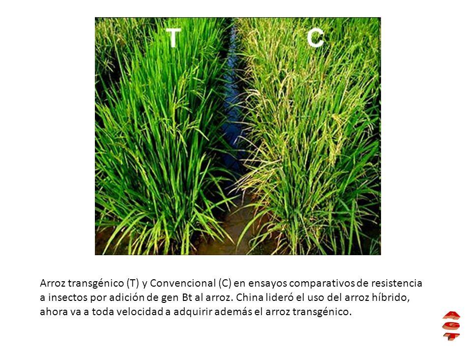Arroz transgénico (T) y Convencional (C) en ensayos comparativos de resistencia a insectos por adición de gen Bt al arroz. China lideró el uso del arr