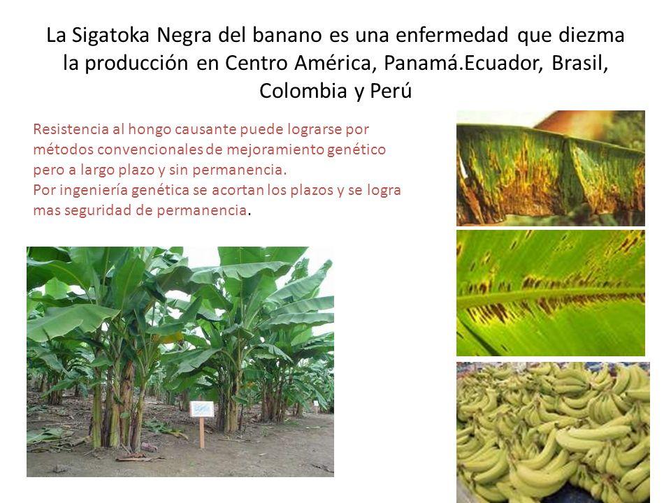 La Sigatoka Negra del banano es una enfermedad que diezma la producción en Centro América, Panamá.Ecuador, Brasil, Colombia y Perú Resistencia al hong