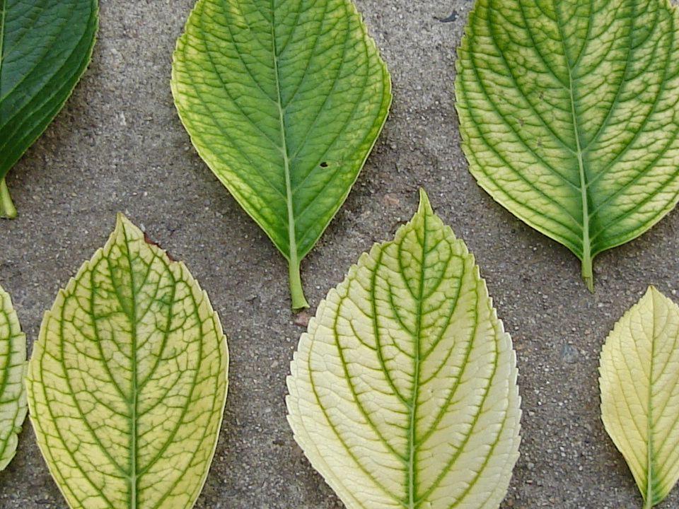 INTENSIDAD DEL FENÓMENO La alcalinización es muy rápida en almácigos en bandeja. Algo más lenta en plantas en maceta. Ha aparecido con frecuencia en i