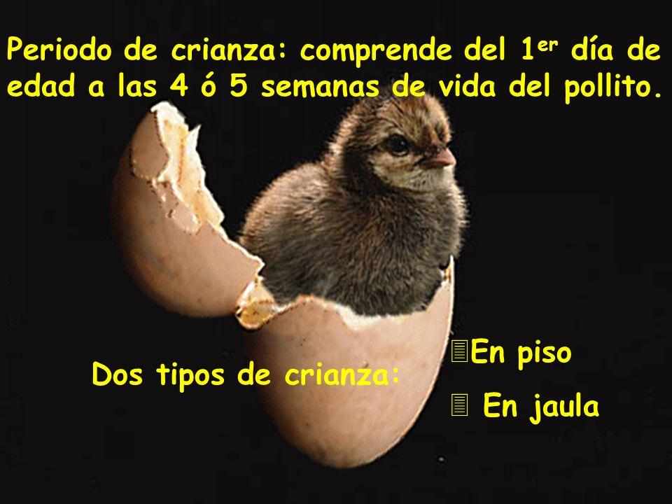Periodo de crianza: comprende del 1 er día de edad a las 4 ó 5 semanas de vida del pollito. Dos tipos de crianza: 3En piso 3 En jaula