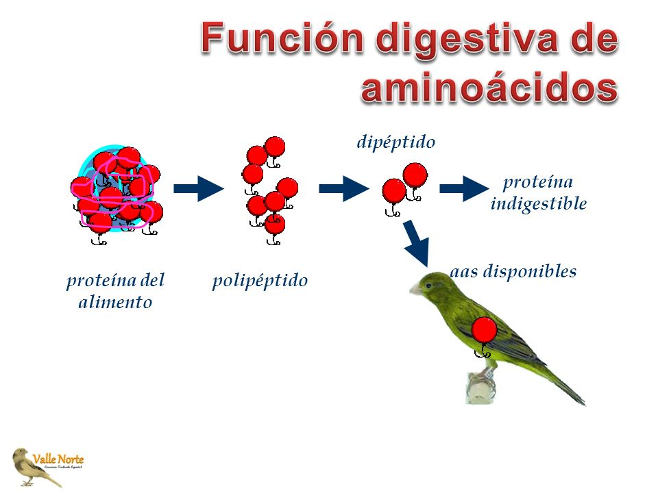 proteína del alimento polipéptido proteína indigestible aas disponibles dipéptido