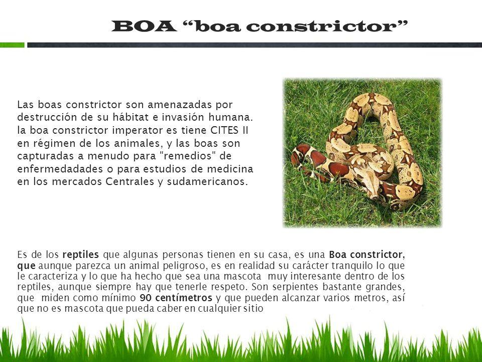 Las boas constrictor son amenazadas por destrucción de su hábitat e invasión humana. la boa constrictor imperator es tiene CITES II en régimen de los