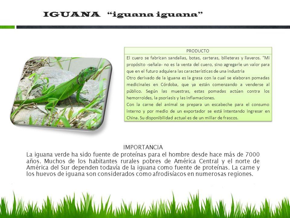 IGUANA iguana iguana IMPORTANCIA La iguana verde ha sido fuente de proteínas para el hombre desde hace más de 7000 años. Muchos de los habitantes rura