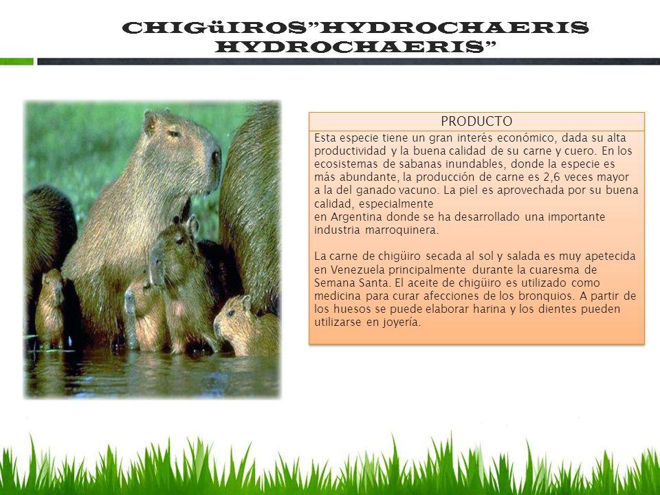 CHIGüIROSHYDROCHAERIS HYDROCHAERIS