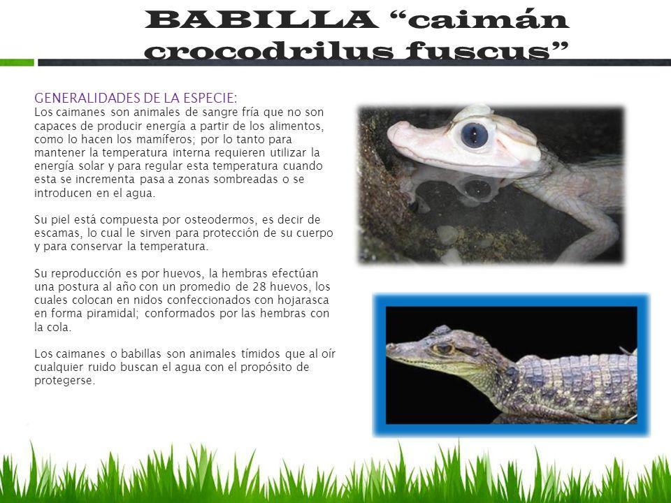 BABILLA caimán crocodrilus fuscus GENERALIDADES DE LA ESPECIE: Los caimanes son animales de sangre fría que no son capaces de producir energía a parti