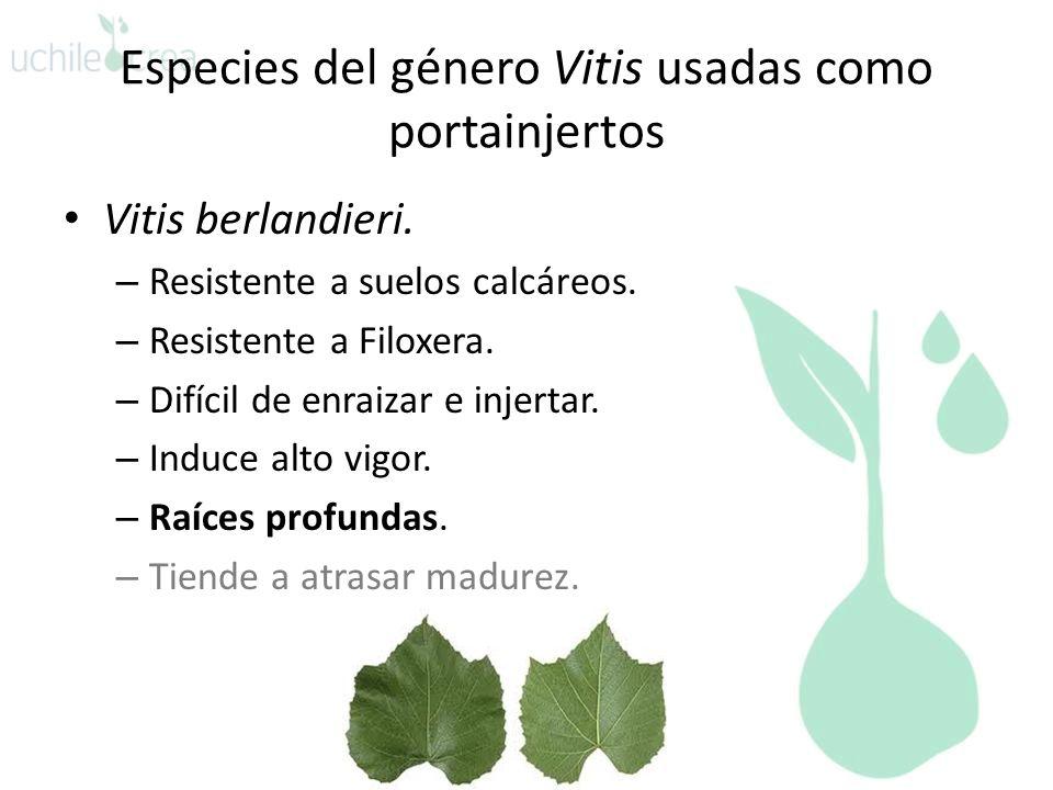 Especies del género Vitis usadas como portainjertos Vitis berlandieri. – Resistente a suelos calcáreos. – Resistente a Filoxera. – Difícil de enraizar