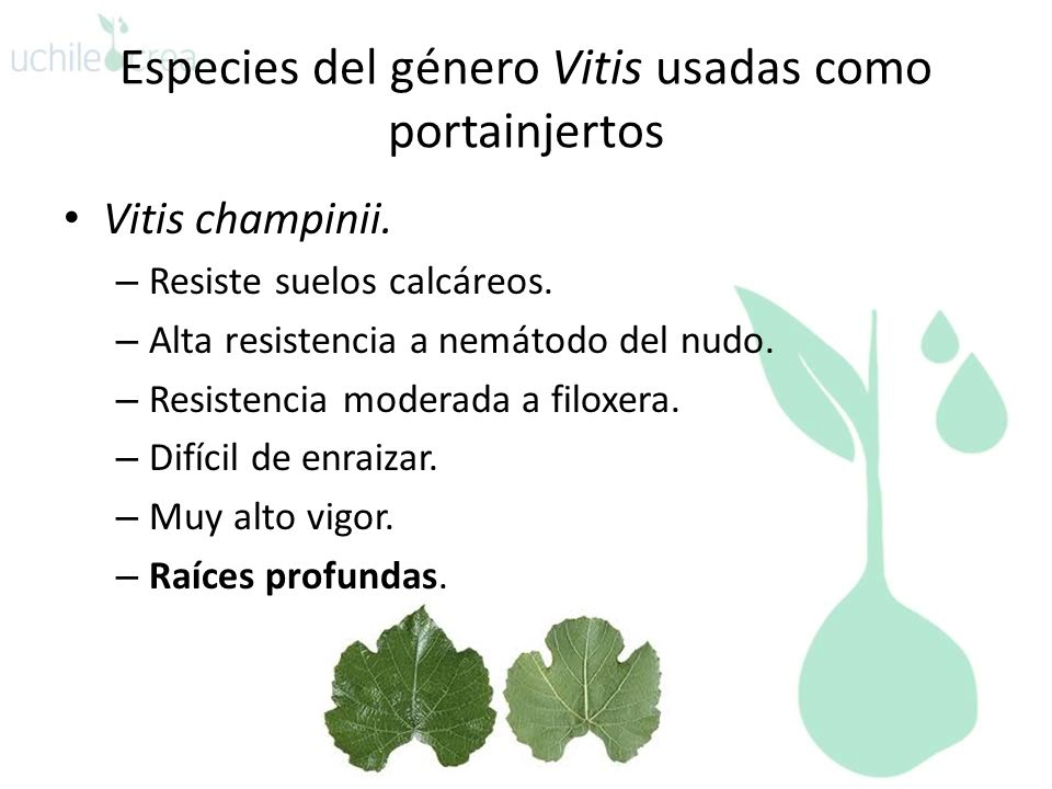 Especies del género Vitis usadas como portainjertos Vitis champinii. – Resiste suelos calcáreos. – Alta resistencia a nemátodo del nudo. – Resistencia