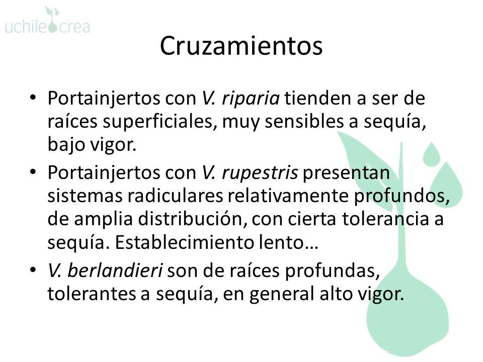 Cruzamientos Portainjertos con V.
