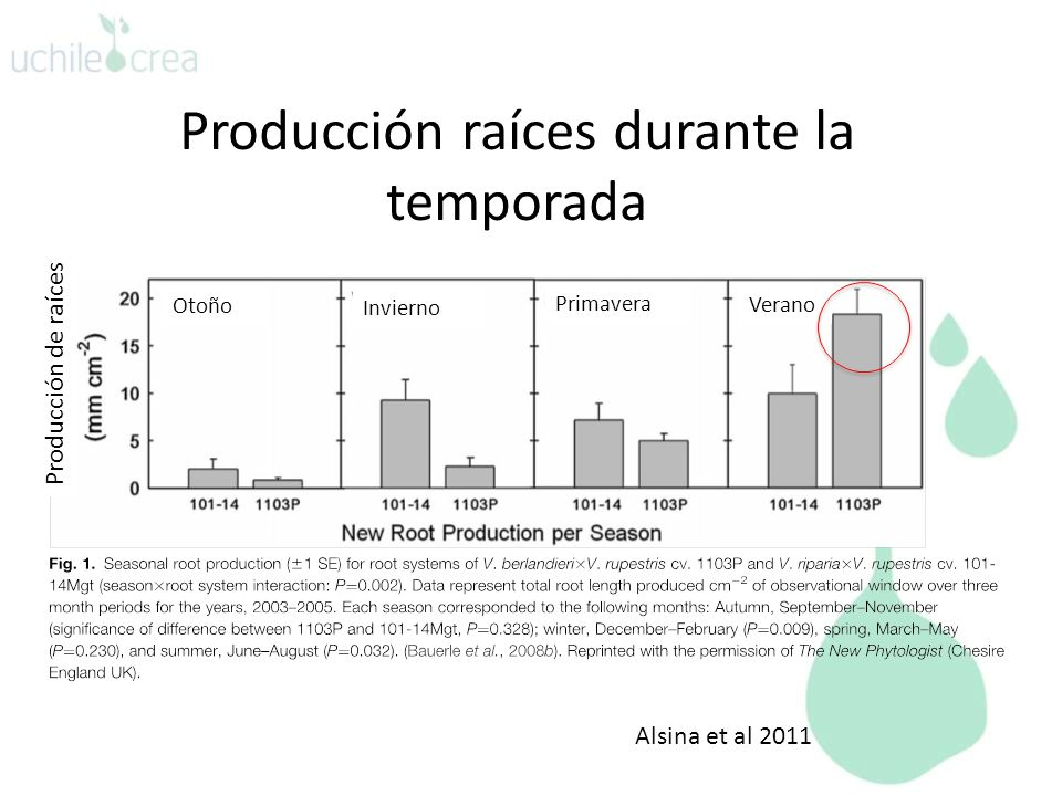 Producción raíces durante la temporada Alsina et al 2011 Otoño Invierno Primavera Verano Producción de raíces