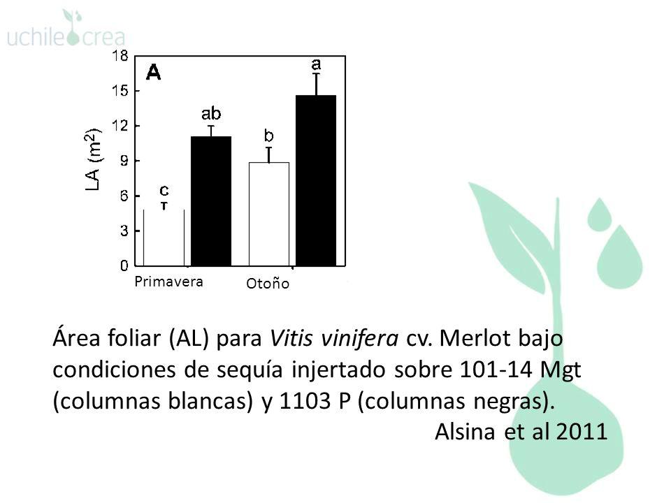 Primavera Otoño Área foliar (AL) para Vitis vinifera cv. Merlot bajo condiciones de sequía injertado sobre 101-14 Mgt (columnas blancas) y 1103 P (col