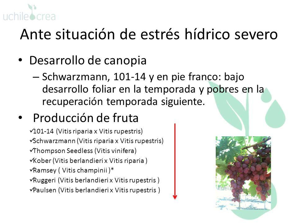 Ante situación de estrés hídrico severo Desarrollo de canopia – Schwarzmann, 101-14 y en pie franco: bajo desarrollo foliar en la temporada y pobres en la recuperación temporada siguiente.