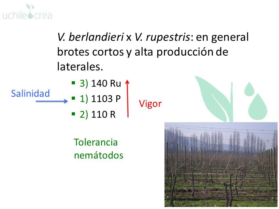 V. berlandieri x V. rupestris: en general brotes cortos y alta producción de laterales. 3) 140 Ru 1) 1103 P 2) 110 R Vigor Salinidad Tolerancia nemáto