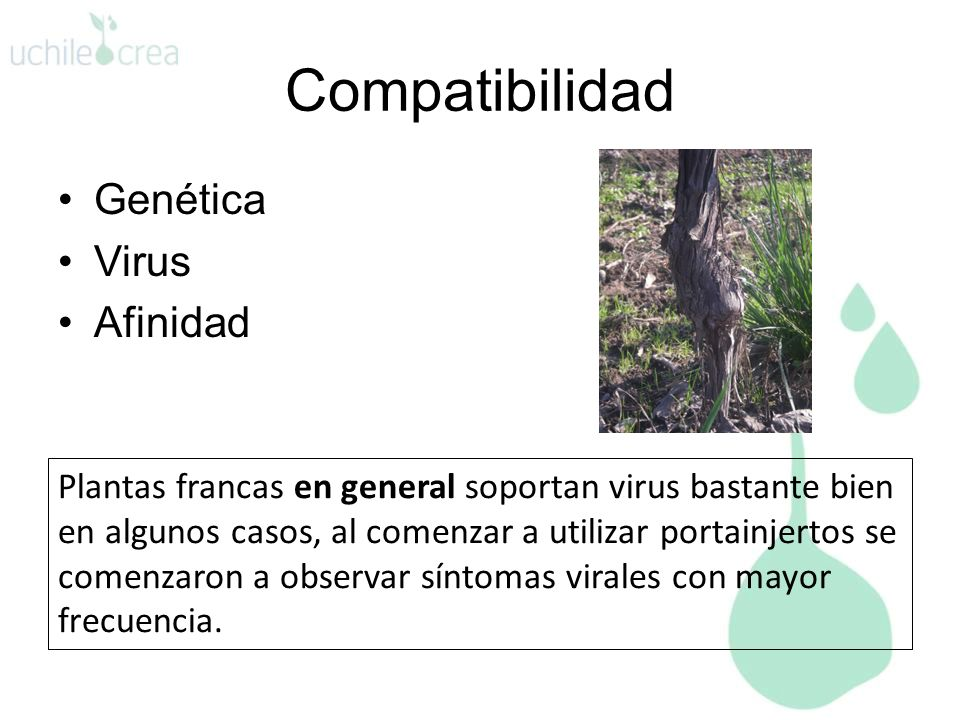 Genética Virus Afinidad Compatibilidad Plantas francas en general soportan virus bastante bien en algunos casos, al comenzar a utilizar portainjertos se comenzaron a observar síntomas virales con mayor frecuencia.