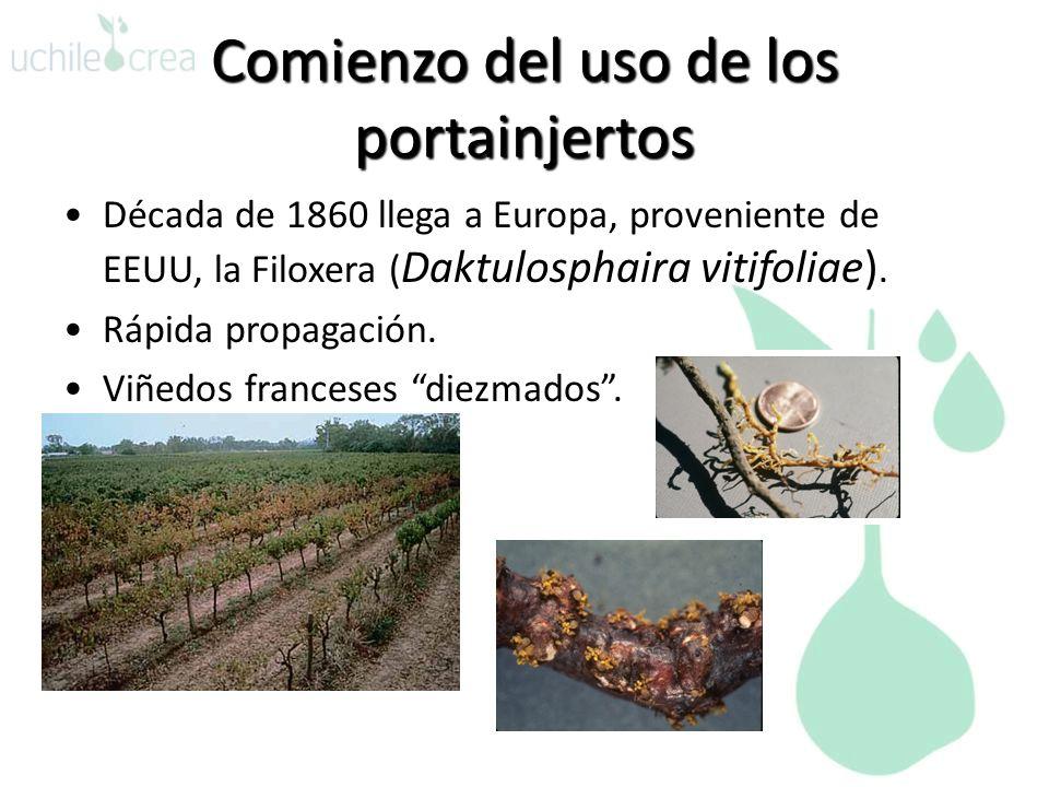 Comienzo del uso de los portainjertos Década de 1860 llega a Europa, proveniente de EEUU, la Filoxera ( Daktulosphaira vitifoliae). Rápida propagación