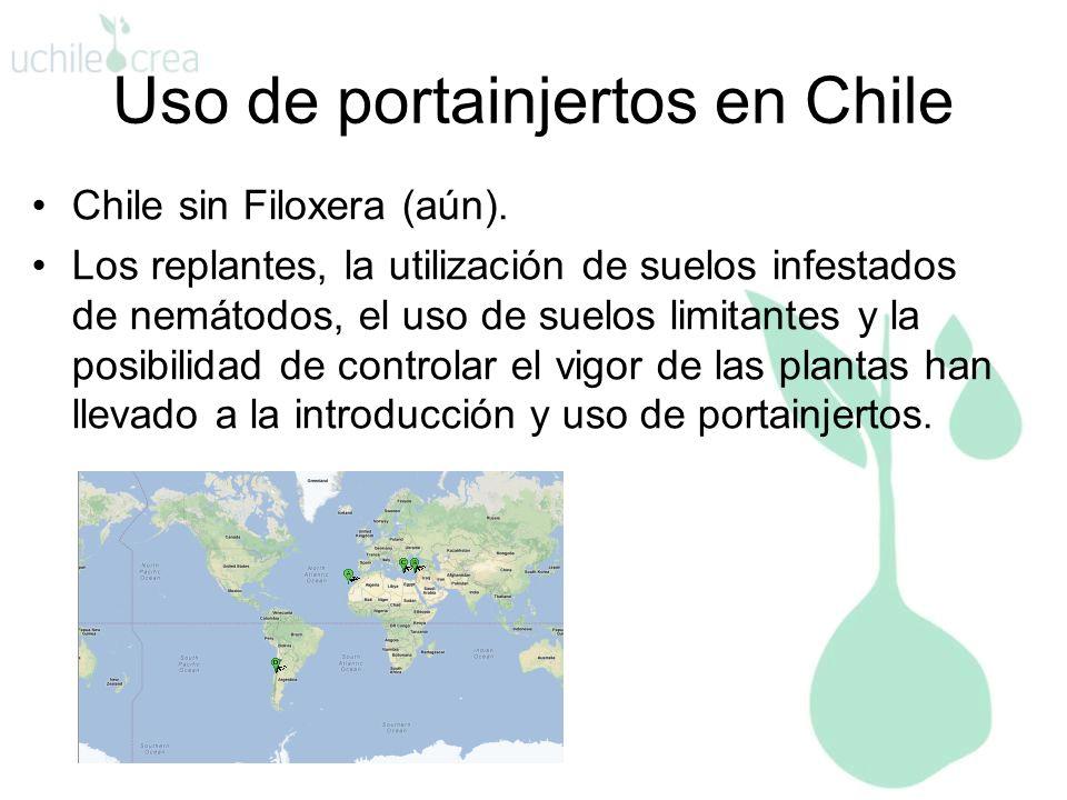Uso de portainjertos en Chile Chile sin Filoxera (aún). Los replantes, la utilización de suelos infestados de nemátodos, el uso de suelos limitantes y