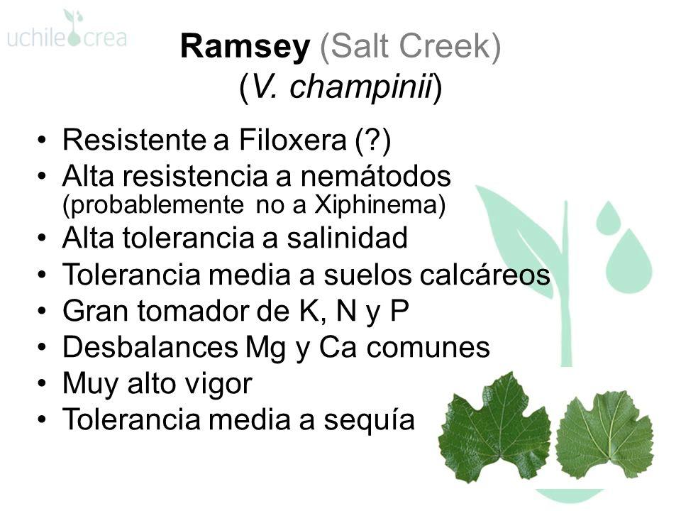 Ramsey (Salt Creek) (V. champinii) Resistente a Filoxera (?) Alta resistencia a nemátodos (probablemente no a Xiphinema) Alta tolerancia a salinidad T