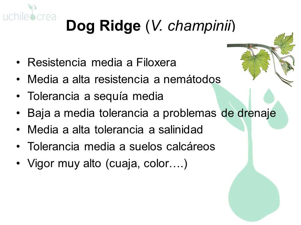 Dog Ridge (V. champinii) Resistencia media a Filoxera Media a alta resistencia a nemátodos Tolerancia a sequía media Baja a media tolerancia a problem