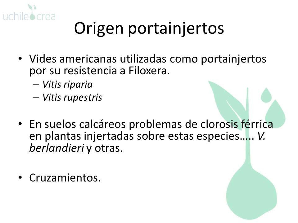 Origen portainjertos Vides americanas utilizadas como portainjertos por su resistencia a Filoxera. – Vitis riparia – Vitis rupestris En suelos calcáre