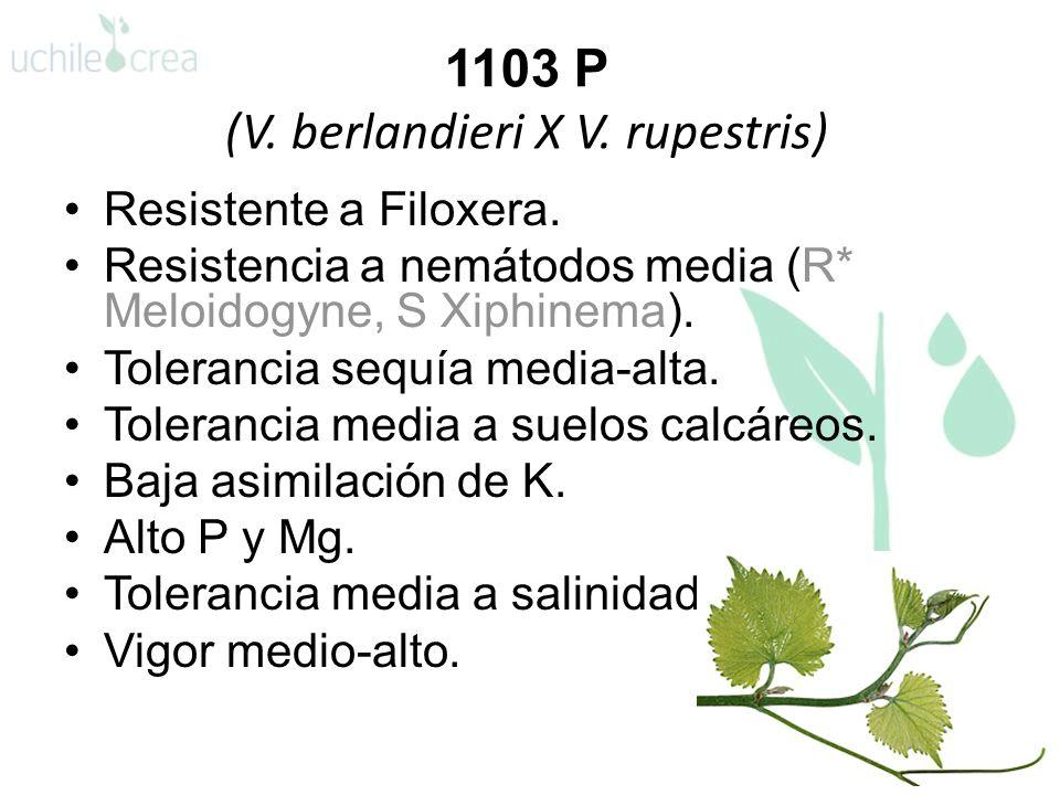1103 P (V. berlandieri X V. rupestris) Resistente a Filoxera. Resistencia a nemátodos media (R* Meloidogyne, S Xiphinema). Tolerancia sequía media-alt