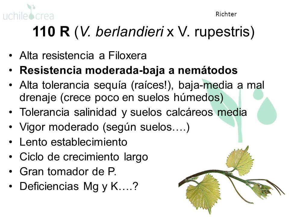 110 R (V. berlandieri x V. rupestris) Alta resistencia a Filoxera Resistencia moderada-baja a nemátodos Alta tolerancia sequía (raíces!), baja-media a
