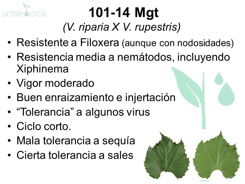 101-14 Mgt (V. riparia X V. rupestris) Resistente a Filoxera (aunque con nodosidades) Resistencia media a nemátodos, incluyendo Xiphinema Vigor modera